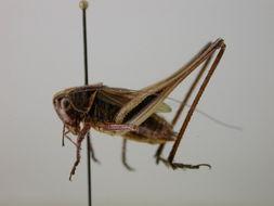 Image of <i>Metrioptera brachyptera</i> (Linnaeus 1761)