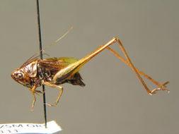 Image of <i>Metrioptera bicolor</i>