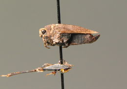 Image of <i>Tetrix bipunctata</i> (Linnaeus 1758)