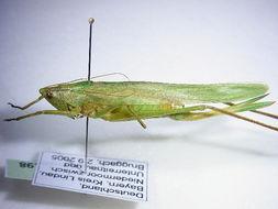 Image of <i>Ruspolia nitidula</i> (Scopoli 1786)
