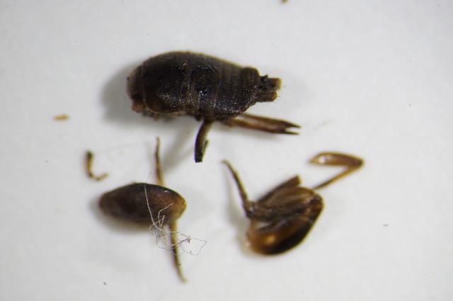 Image of <i><i>Myrmecophilus</i></i> (Myrmecophilus) <i>acervorum</i> (Panzer 1799)