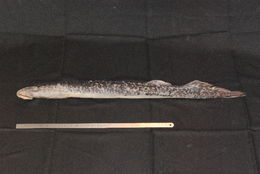 Image of Sea Lamprey