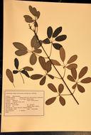 Image of trumpet-tree