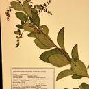 Image of duranta