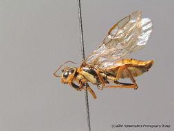 Image of <i>Acantholyda posticalis</i> ssp. <i>pinivora</i> Enslin 1918