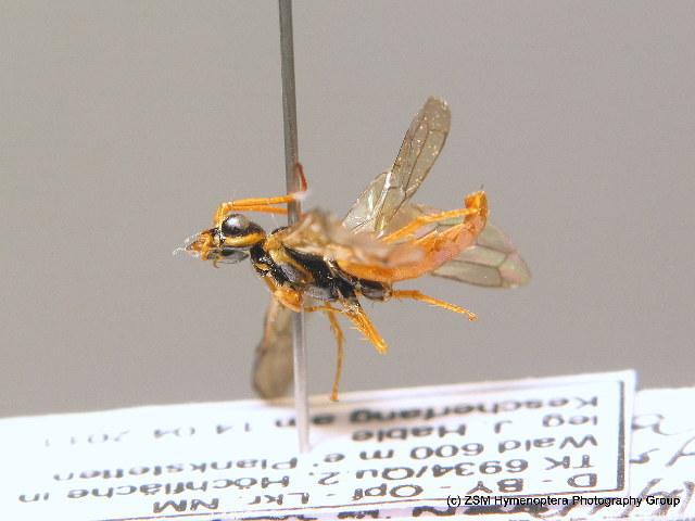 Image of <i>Cephalcia erythrogaster</i>