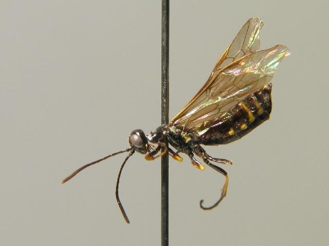 Image of <i>Cephus brachycercus</i> C. G. Thomson 1871