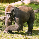 Image of great apes and humans
