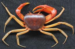 Image of Tiwaripotamon