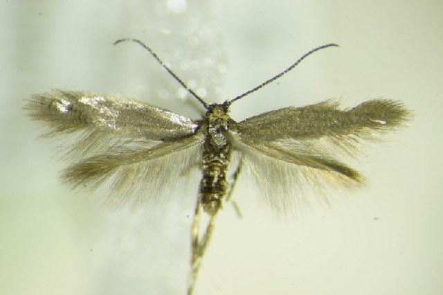 Image of Lyonetiinae