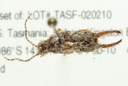 Image of striped earwigs