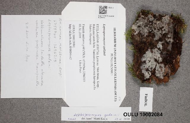 Image of Leptosporomyces