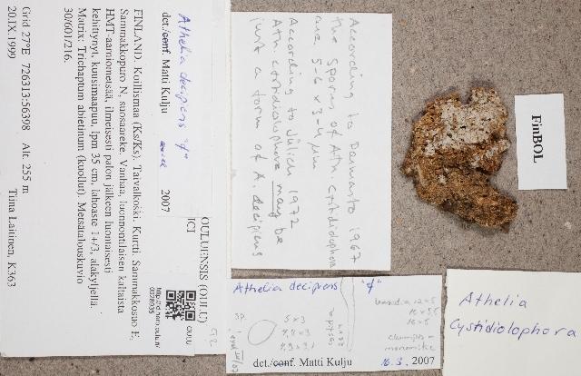 Image of athelia lichen