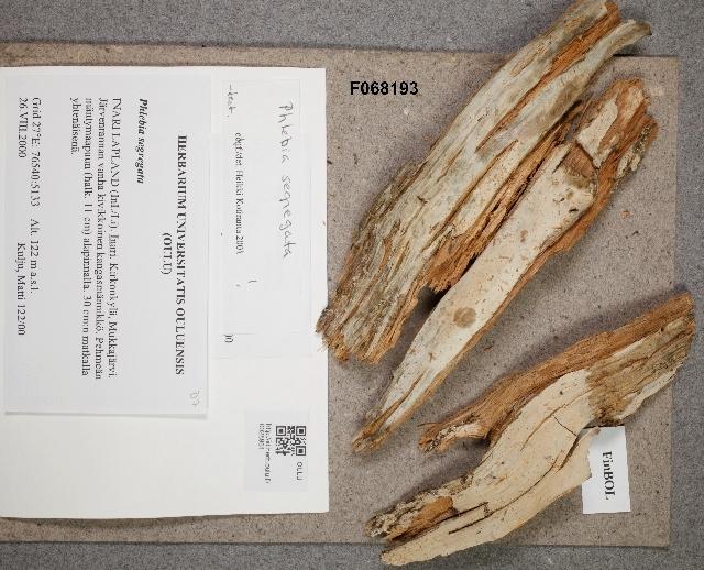 Image of Phlebia
