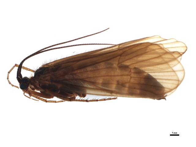 Image of <i>Hydatophylax infumatus</i> (Mc Lachlan 1865)