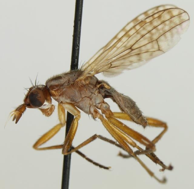 Image of Dichetophora