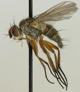 Image of <i>Siphona grandistyla</i>