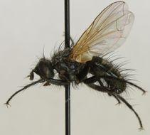 Image of <i>Cleonice callida</i> (Meigen 1824)