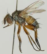 Image of <i>Siphona pauciseta</i> Rondani 1865