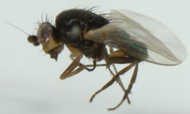 Image of Chaetopodella