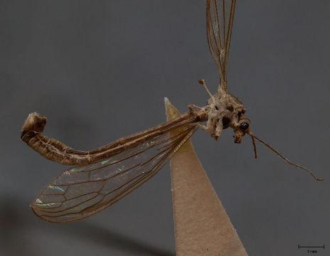 Image of <i>Cylindrotoma distinctissima americana</i> Osten Sacken 1865