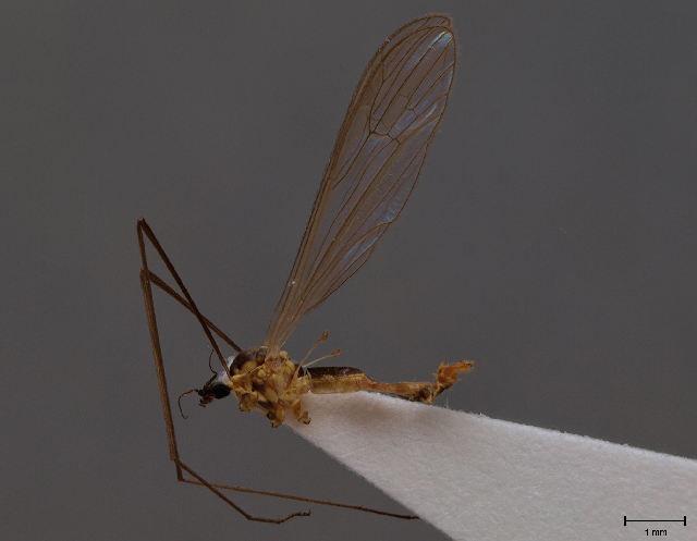 Image of <i><i>Gonomyia</i></i> (Gonomyia) <i>securiformis</i> Stary 2011