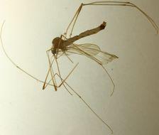 Image of <i><i>Elephantomyia</i></i> (Elephantomyia) <i>krivosheinae</i> Savchenko 1976