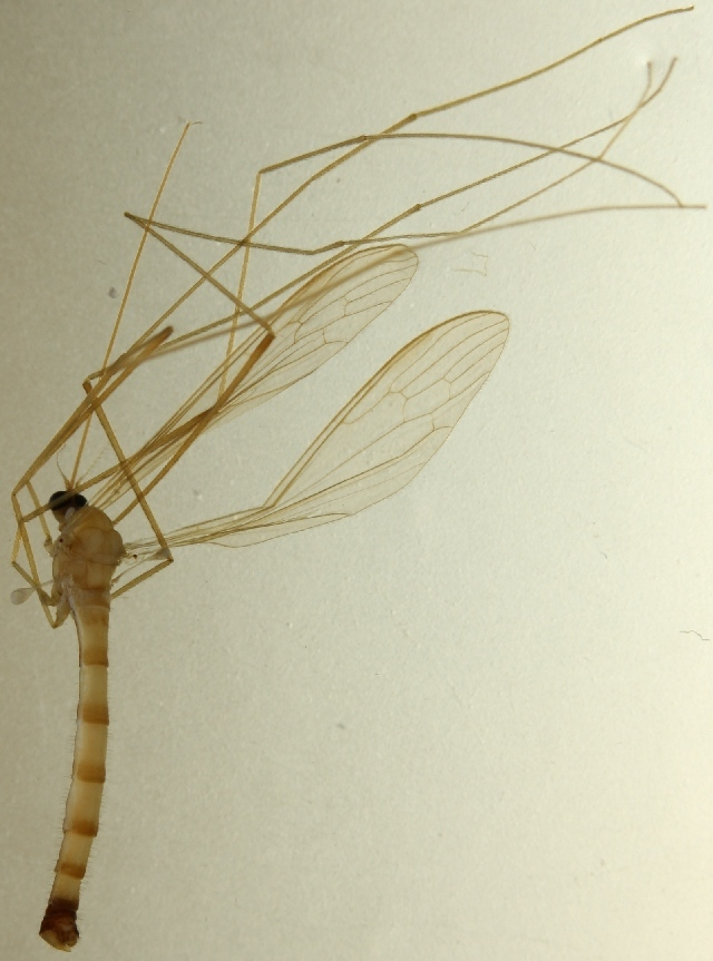 Image of <i><i>Elephantomyia</i></i> (Elephantomyia) <i>edwardsi</i> Lackschewitz 1932