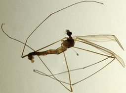 Image of <i>Dicranomyia</i> (<i>Idiopyga</i>) <i>ponojensis</i> Lundstrom 1912