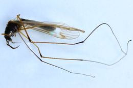 Image of <i>Prionocera chosenicola</i> Alexander 1945