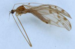 Image of <i>Achyrolimonia decemmaculata</i> (Loew 1873)