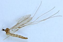 Image of <i>Limonia macrostigma</i> (Schummel 1829)