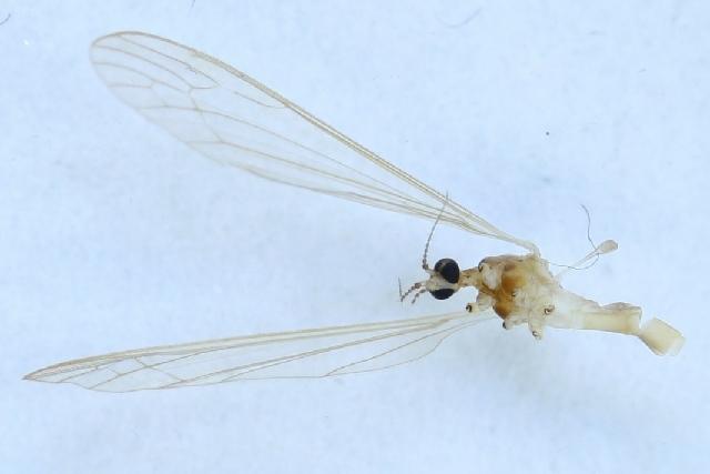 Image of <i><i>Dicranomyia</i></i> (Dicranomyia) <i>modesta</i> (Meigen 1818)