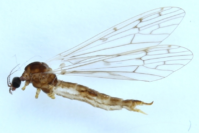 Image of <i><i>Symplecta</i></i> (Symplecta) <i>hybrida</i> (Meigen 1804)