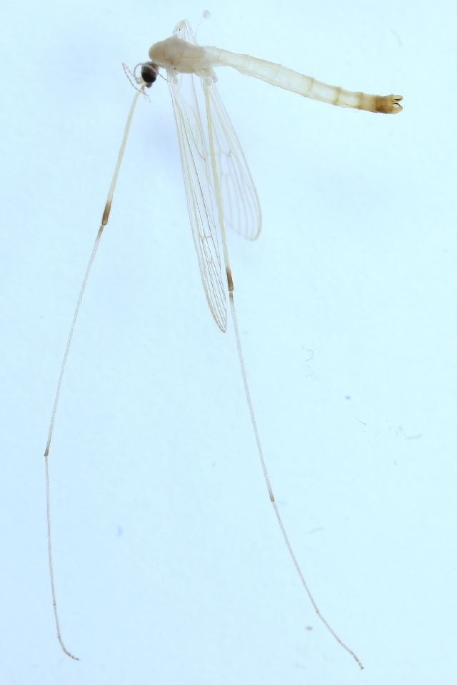 Image of <i>Lipsothrix ecucullata</i> Edwards 1938