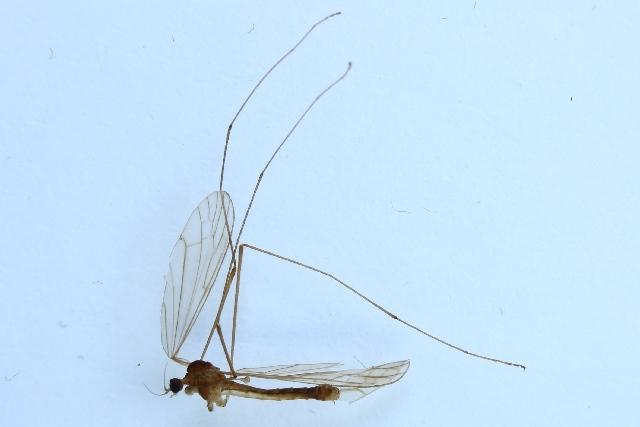 Image of <i><i>Dicranomyia</i></i> (Dicranomyia) <i>ventralis</i> (Schummel 1829)