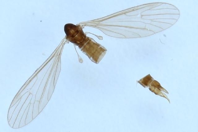 Image of <i>Paradelphomyia</i> (<i>Oxyrhiza</i>) <i>nigrina</i> (Lackschewitz 1940)