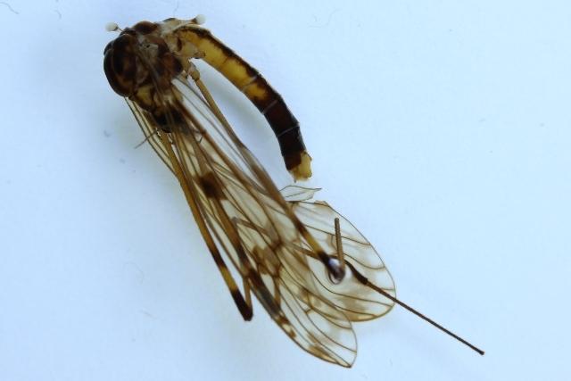 Image of <i><i>Metalimnobia</i></i> (Metalimnobia) <i>quadrimaculata</i> (Linnaeus 1760)