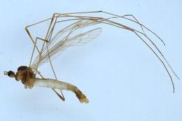 Image of <i><i>Dicranomyia</i></i> (Dicranomyia) <i>mitis</i> (Meigen 1830)
