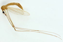 Image of <i><i>Helius</i></i> (Helius) <i>flavus</i> (Walker 1856)