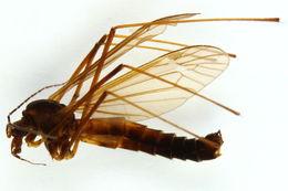 Image of <i>Nigrotipula nigra</i> (Linnaeus 1758)
