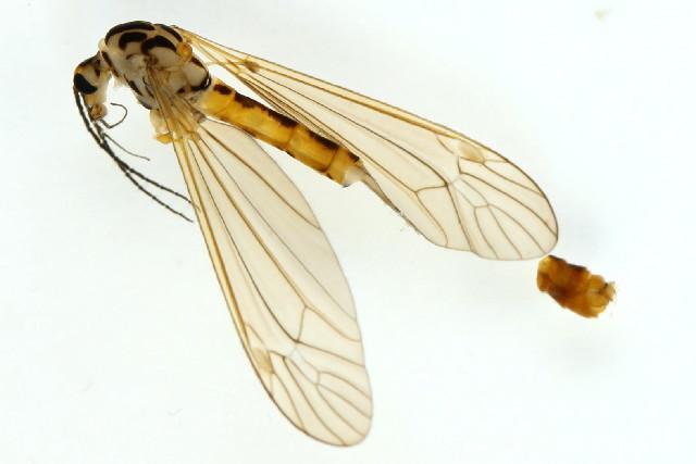 Image of <i>Nephrotoma flavescens</i> (Linnaeus 1758)