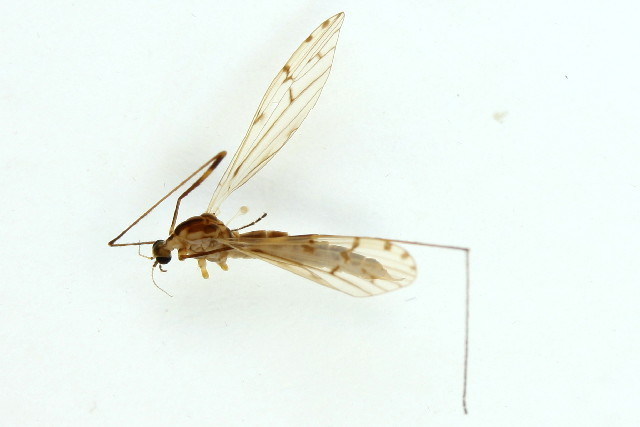 Image of <i>Symplecta</i> (<i>Psiloconopa</i>) <i>stictica</i> (Meigen 1818)