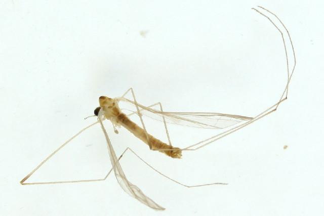 Image of <i><i>Dicranomyia</i></i> (Dicranomyia) <i>handlirschi</i> Lackschewitz 1928