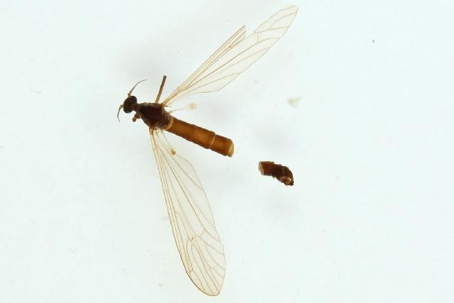 Image of <i><i>Tricyphona</i></i> (Tricyphona) <i>schummeli</i> Edwards 1921