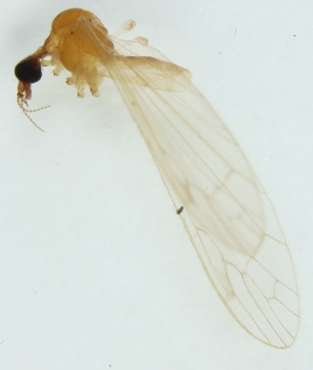 Image of <i>Dicranomyia imbecilla</i>