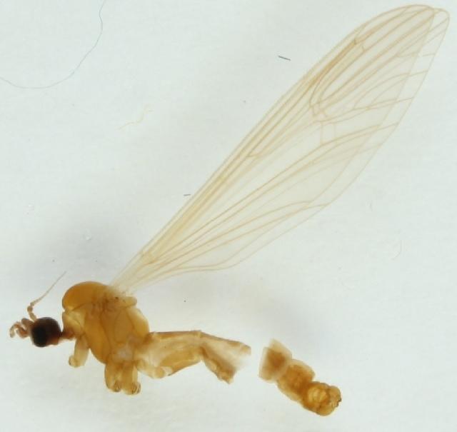 Image of <i><i>Tricyphona</i></i> (Tricyphona) <i>livida</i> Madarassy 1881