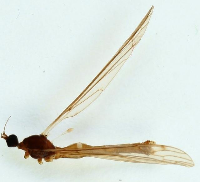 Image of <i>Dicranomyia</i> (<i>Glochina</i>) <i>tristis</i> (Schummel 1829)