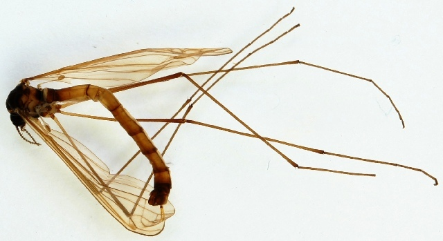 Image of <i>Triogma trisulcata</i> (Schummel 1829)