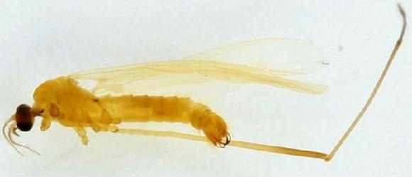 Image of <i><i>Molophilus</i></i> (Molophilus) <i>appendiculatus</i> (Staeger 1840)